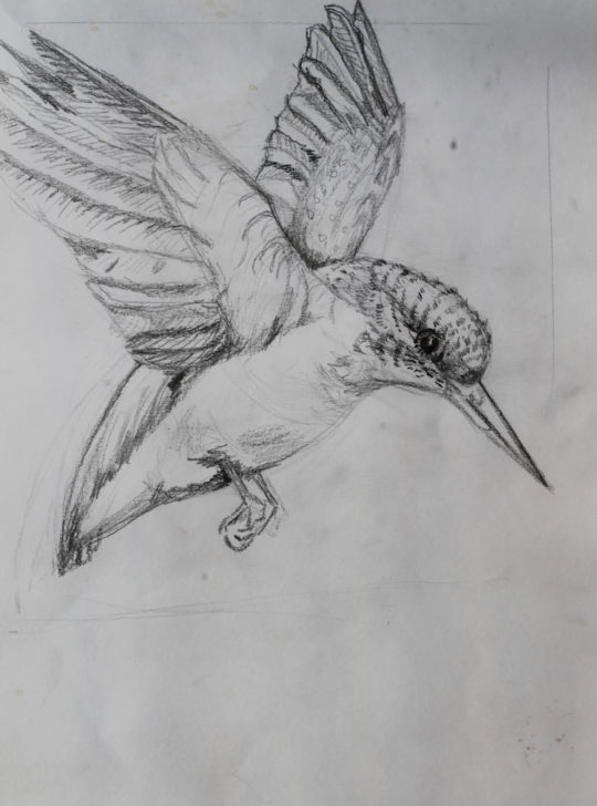 Julie French, Kingfisher drawing